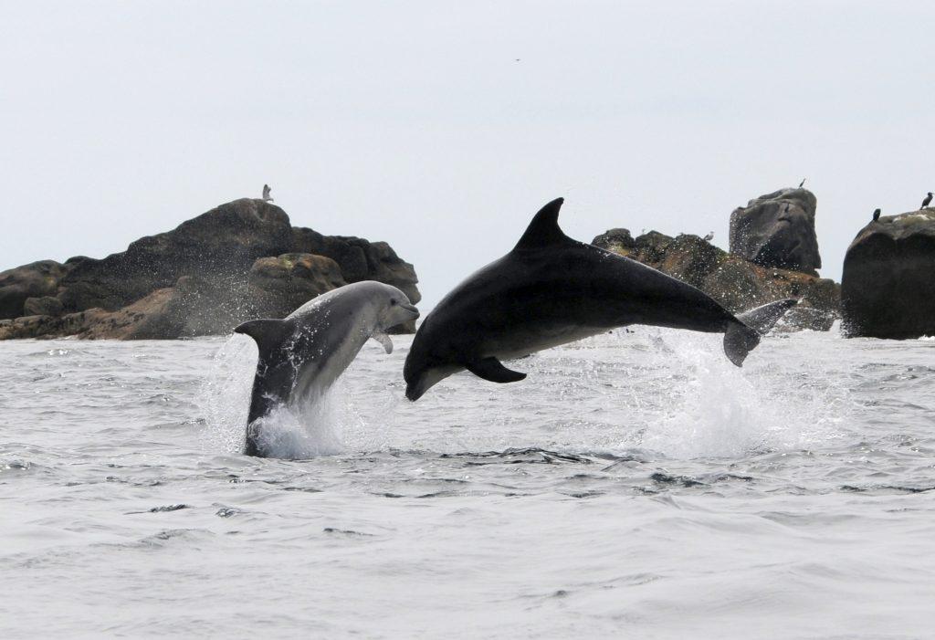 Bottlenose Dolphins in Iroise Marine National Park, France   Fabien Boileau Office Francais de la Biodiversite