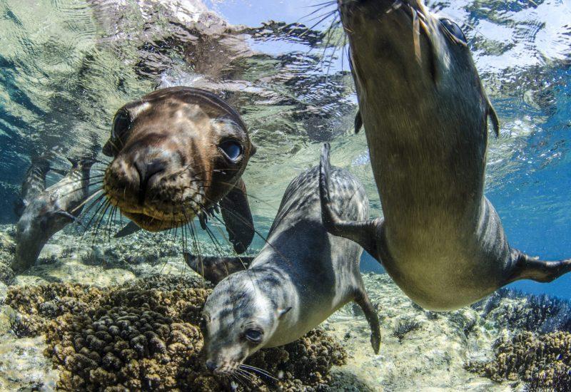 Sea Lions © Amanda Cotton